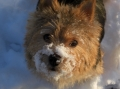Norwichterrier_2