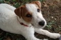 Jack russell terrier_1