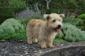 Irish glen of imaal terrier_2
