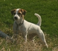 Parson russell terrier_1