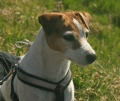 Parson russell terrier_3