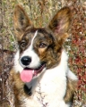 Welsh corgi cardigan_2
