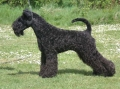 Kerry blue terrier_1