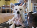 Chinese crested dog_3