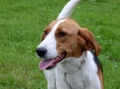American foxhound_1