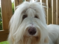 Bearded collie_2