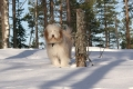 Bearded collie_1