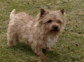 Norwichterrier_1