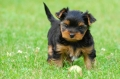 Yorkshireterrier   _1