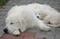 Golden retriever_3