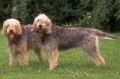 Otterhound_1