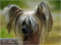 Chinese crested dog_2