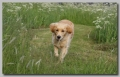 Golden retriever_2