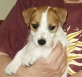 Parson russell terrier_2