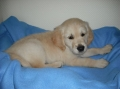 Golden retriever_1