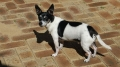 Tenterfield terrier_2