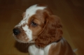 Welsh springer spaniel_1