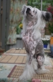 Chinese crested dog_1