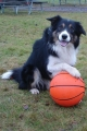 Border collie_1