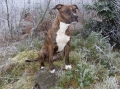 American staffordshire terrier_3