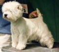 West highland white terrier_1