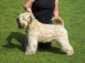Irish softcoated wheaten terrier_2