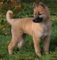 Korea jindo dog_1
