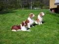 Welsh springer spaniel_3