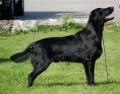 Flatcoated retriever_3