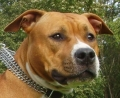 American staffordshire terrier_2