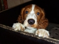 Welsh springer spaniel_2