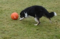 Border collie_2
