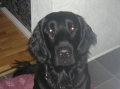 Flatcoated retriever_2