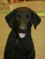 Curly coated retriever_1