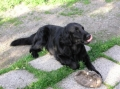 Flatcoated retriever_1
