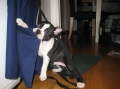 Bostonterrier_2