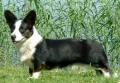 Welsh corgi cardigan_1