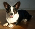 Welsh corgi cardigan_3