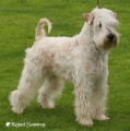 Irish softcoated wheaten terrier_1