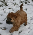 Irish softcoated wheaten terrier_3