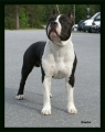 American staffordshire terrier_1