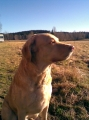 Chesapeake bay retriever_2