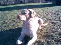 Chesapeake bay retriever_1